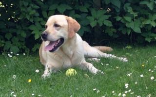 Симптомы и лечение аденовируса у собак