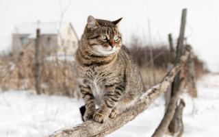 Пневмония у кошек: симптомы, опасность состояния, в каких условиях проводится лечение