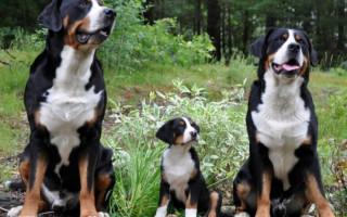 Большой швейцарский зенненхунд (фото): Собака, всегда готовая прийти на помощь