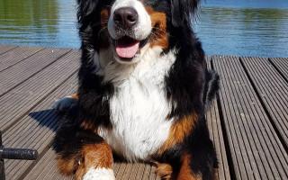 Бернский зенненхунд (фото): Собака, которая улыбается