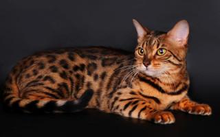 Тойгер (кошка): подробное описание породы