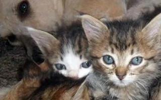 Собака усыновила беспомощных котят
