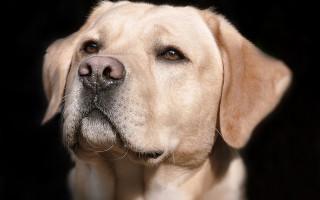 Любимые породы собак у американцев: десятка лучших