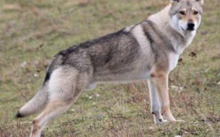 Чехословацкая волчья собака (фото): помесь волка и немецкой овчарки