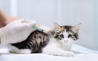 Ветеринарные процедуры для котят первого года жизни