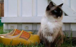 Описание породы кошек рэгдолл с фото, особенности характера животного, содержание и кормление питомца