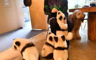 Панды из китайского кафе оказались крашеными собаками