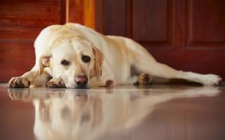 Как лечат бронхит у собак