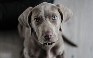 Одни на миллион: 9 пород собак, которые относятся к сверхредким