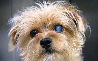 Катаракта у собаки: причины, симптомы, лечение, профилактика