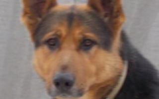 Собака восточно-европейская овчарка (фото): выносливый защитник и верный друг