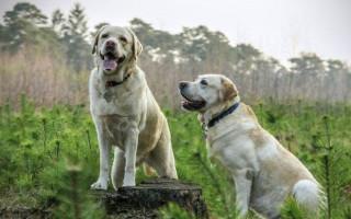 Как вывести блох у собаки в домашних условиях различными средствами