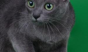 Корат — описание пород котов
