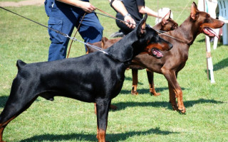 Популярные выставки собак в России