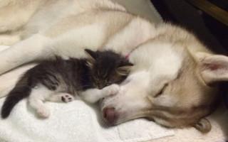 Хаски выходила котёнка, и тот возомнил себя собакой: видео