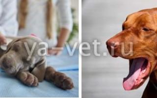 Вольерный кашель у собак: симптомы и лечение, профилактика