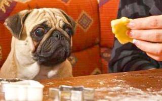 4 эффективных способа отучить собаку клянчить еду