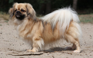Тибетский спаниель (тибби): история, описание породы, выбор щенка