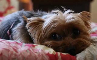 Собака йоркширский терьер (фото): маленький друг для вашей семьи