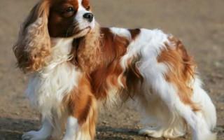 Лучшая порода собак для пожилых людей — фото и описание