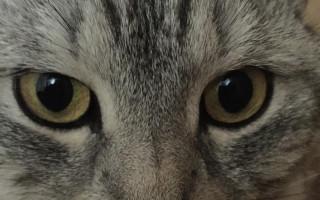 Гайморит (синусит верхнечелюстной) у кошек
