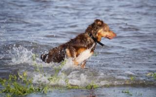 Перитонит у собаки: причины и лечение