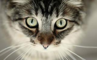 Ирит и иридоциклит у кошки