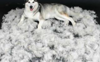 6 собак, которые так сильно линяют, что из их шерсти можно ежемесячно делать носки