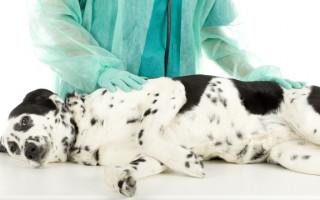 Какие симтомы цирроза печени у собак