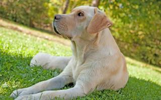 Ложная беременность у собак: все о ложной щенности полезные советы владельцу