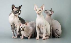 Какие породы кошек не линяют и не пахнут