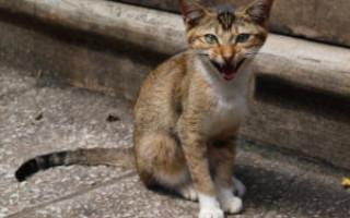 Цейлонская кошка — описание пород котов