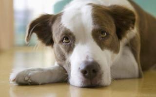 Лечение бруцеллеза у собак