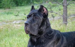 Собака кане корсо (фото): верный друг и защитник, который всегда рядом