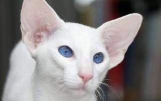 Окрасы кошек: 100 фотографий, классификация и названия