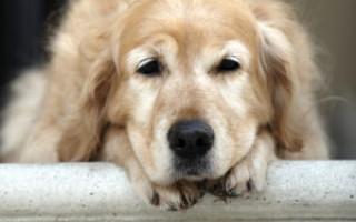 Пожилая собака: правила ухода